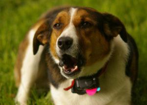 BarxBuddy Interview: Do Bark Collars Actually Work On Dogs?